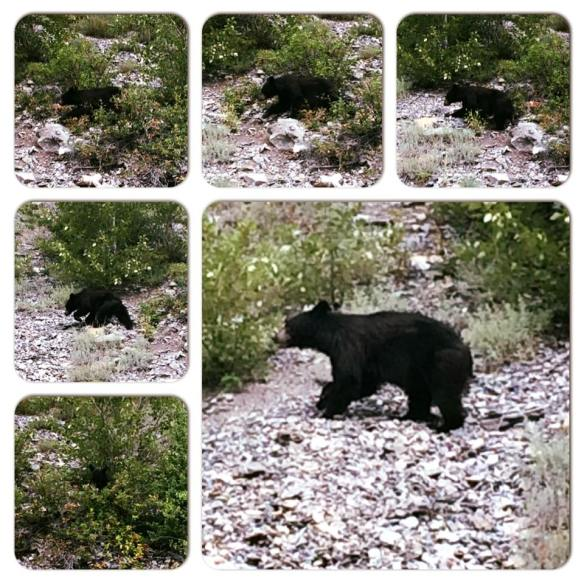 Icefields Parkway - Little bear