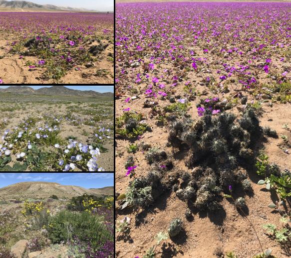Desierto Florido e Parque Nacional Llanos de Challe