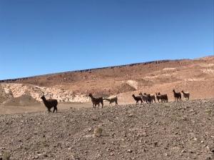 Hierbas Buenas - Lama al pascolo